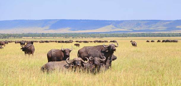 """Buffalo"" ""Cape Buffalo"" ""Wild Buffalo"" ""Big 5 Buffalo"" ""buffalo safari"" ""Buffalo Africa"" ""Lion"" ""Marsh Pride Lion"" ""Great Migration"" ""Great Migration Africa"" ""The Great Migration"" ""BBC Great Migration"" ""BBC filming"" ""BBC Africa"" ""Cheetah"" ""Masai Mara"" ""Big Five"" ""Big 5"" ""safari"" ""Kenya"" ""Africa"" ""Big 5 Africa"" ""safari holiday"" ""Governor's Camp"" ""luxury safari"" ""luxury safari Africa"" ""best African safari"" ""luxury safari camp"" ""luxury safari hotel"" ""animals safari"" ""what are the big 5 africa"" ""travel"" ""photography"" ""travel photography"" ""wildlife photography"" ""Cheetah"" ""leopard"" ""elephant"" ""rhino"" ""endangered"" ""poaching"" ""black rhino"" ""Buffalo"" ""elephant"" ""lion"" ""Marsh Pride Lion"" ""lions in wild"" ""lions on safari"" ""wild lions"" ""safari sunset"" ""Masai Mara sunset"" ""wanderlust"""