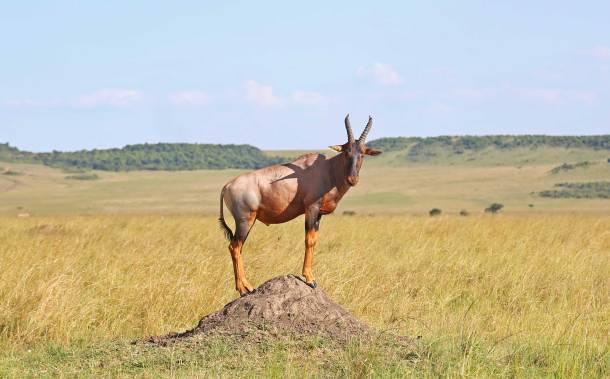 """Thomson Gazelle"" ""Gazelle"" ""Buffalo"" ""Cape Buffalo"" ""Wild Buffalo"" ""Big 5 Buffalo"" ""buffalo safari"" ""Buffalo Africa"" ""Lion"" ""Marsh Pride Lion"" ""Great Migration"" ""Great Migration Africa"" ""The Great Migration"" ""BBC Great Migration"" ""BBC filming"" ""BBC Africa"" ""Cheetah"" ""Masai Mara"" ""Big Five"" ""Big 5"" ""safari"" ""Kenya"" ""Africa"" ""Big 5 Africa"" ""safari holiday"" ""Governor's Camp"" ""luxury safari"" ""luxury safari Africa"" ""best African safari"" ""luxury safari camp"" ""luxury safari hotel"" ""animals safari"" ""what are the big 5 africa"" ""travel"" ""photography"" ""travel photography"" ""wildlife photography"" ""Cheetah"" ""leopard"" ""elephant"" ""rhino"" ""endangered"" ""poaching"" ""black rhino"" ""Buffalo"" ""elephant"" ""lion"" ""Marsh Pride Lion"" ""lions in wild"" ""lions on safari"" ""wild lions"" ""safari sunset"" ""Masai Mara sunset"" ""wanderlust"""