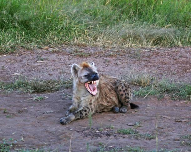 """Wild Hyena"" ""hyena"" ""Hyena"" ""Hyena safari"" ""wild dogs safari"" ""Thomson Gazelle"" ""Gazelle"" ""Buffalo"" ""Cape Buffalo"" ""Wild Buffalo"" ""Big 5 Buffalo"" ""buffalo safari"" ""Buffalo Africa"" ""Lion"" ""Marsh Pride Lion"" ""Great Migration"" ""Great Migration Africa"" ""The Great Migration"" ""BBC Great Migration"" ""BBC filming"" ""BBC Africa"" ""Cheetah"" ""Masai Mara"" ""Big Five"" ""Big 5"" ""safari"" ""Kenya"" ""Africa"" ""Big 5 Africa"" ""safari holiday"" ""Governor's Camp"" ""luxury safari"" ""luxury safari Africa"" ""best African safari"" ""luxury safari camp"" ""luxury safari hotel"" ""animals safari"" ""what are the big 5 africa"" ""travel"" ""photography"" ""travel photography"" ""wildlife photography"" ""Cheetah"" ""leopard"" ""elephant"" ""rhino"" ""endangered"" ""poaching"" ""black rhino"" ""Buffalo"" ""elephant"" ""lion"" ""Marsh Pride Lion"" ""lions in wild"" ""lions on safari"" ""wild lions"" ""safari sunset"" ""Masai Mara sunset"" ""wanderlust"""