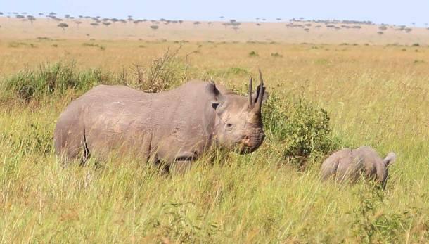 """Black Rhino"" ""endangered rhino"" ""rhino"" ""rhino safari"" ""Rhino Africa"" ""Rhino poaching"" """"Africa Rhino"" ""safari Rhino"" ""safari Black Rhino"" ""Rhino Masai Mara"" ""Rhino Kenya"" ""Wild Hyena"" ""hyena"" ""Hyena"" ""Hyena safari"" ""wild dogs safari"" ""Thomson Gazelle"" ""Gazelle"" ""Buffalo"" ""Cape Buffalo"" ""Wild Buffalo"" ""Big 5 Buffalo"" ""buffalo safari"" ""Buffalo Africa"" ""Lion"" ""Marsh Pride Lion"" ""Great Migration"" ""Great Migration Africa"" ""The Great Migration"" ""BBC Great Migration"" ""BBC filming"" ""BBC Africa"" ""Cheetah"" ""Masai Mara"" ""Big Five"" ""Big 5"" ""safari"" ""Kenya"" ""Africa"" ""Big 5 Africa"" ""safari holiday"" ""Governor's Camp"" ""luxury safari"" ""luxury safari Africa"" ""best African safari"" ""luxury safari camp"" ""luxury safari hotel"" ""animals safari"" ""what are the big 5 africa"" ""travel"" ""photography"" ""travel photography"" ""wildlife photography"" ""Cheetah"" ""leopard"" ""elephant"" ""rhino"" ""endangered"" ""poaching"" ""black rhino"" ""Buffalo"" ""elephant"" ""lion"" ""Marsh Pride Lion"" ""lions in wild"" ""lions on safari"" ""wild lions"" ""safari sunset"" ""Masai Mara sunset"" ""wanderlust"""