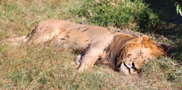 """Lion"" ""Marsh Pride Lion"" ""Great Migration"" ""Great Migration Africa"" ""The Great Migration"" ""BBC Great Migration"" ""BBC filming"" ""BBC Africa"" ""Cheetah"" ""Masai Mara"" ""Big Five"" ""Big 5"" ""safari"" ""Kenya"" ""Africa"" ""Big 5 Africa"" ""safari holiday"" ""Governor's Camp"" ""luxury safari"" ""luxury safari Africa"" ""best African safari"" ""luxury safari camp"" ""luxury safari hotel"" ""animals safari"" ""what are the big 5 africa"" ""travel"" ""photography"" ""travel photography"" ""wildlife photography"" ""Cheetah"" ""leopard"" ""elephant"" ""rhino"" ""endangered"" ""poaching"" ""black rhino"" ""Buffalo"" ""elephant"" ""lion"" ""Marsh Pride Lion"" ""lions in wild"" ""lions on safari"" ""wild lions"" ""safari sunset"" ""Masai Mara sunset"" ""wanderlust"""