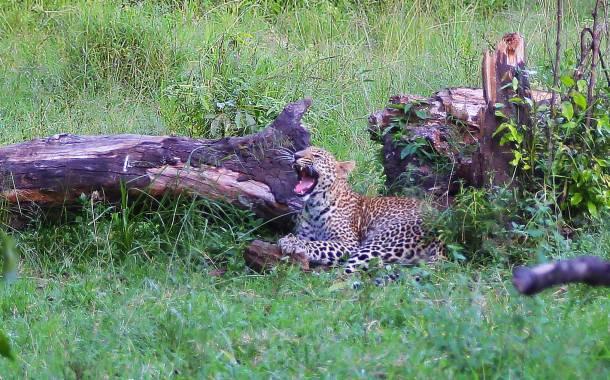 """Leopard"" ""wild leopard"" ""leopard cub"" ""leopard print"" ""Leopard Africa"" ""Leopard Masai Mara"" ""leopard safari"" ""leopard Kenya"" ""Masai Mara sunset"" ""world's best sunset"" ""safari sunset"" ""beautiful sunset"" ""red sunset"" sunset Africa"" ""Great Migration"" ""Great Migration Africa"" ""The Great Migration"" ""BBC Great Migration"" ""BBC filming"" ""BBC Africa"" ""Cheetah"" ""Masai Mara"" ""Big Five"" ""Big 5"" ""safari"" ""Kenya"" ""Africa"" ""Big 5 Africa"" ""safari holiday"" ""Governor's Camp"" ""luxury safari"" ""luxury safari Africa"" ""best African safari"" ""luxury safari camp"" ""luxury safari hotel"" ""animals safari"" ""what are the big 5 africa"" ""travel"" ""photography"" ""travel photography"" ""wildlife photography"" ""Cheetah"" ""leopard"" ""elephant"" ""rhino"" ""endangered"" ""poaching"" ""black rhino"" ""Buffalo"" ""elephant"" ""lion"" ""Marsh Pride Lion"" ""lions in wild"" ""lions on safari"" ""wild lions"" ""safari sunset"" ""Masai Mara sunset"" ""wanderlust"""