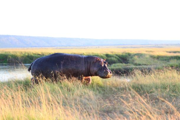 """Hippo"" ""Hippo Masai Mara"" """"Leopard"" ""wild leopard"" ""leopard cub"" ""leopard print"" ""Leopard Africa"" ""Leopard Masai Mara"" ""leopard safari"" ""leopard Kenya"" ""Masai Mara sunset"" ""world's best sunset"" ""safari sunset"" ""beautiful sunset"" ""red sunset"" sunset Africa"" ""Great Migration"" ""Great Migration Africa"" ""The Great Migration"" ""BBC Great Migration"" ""BBC filming"" ""BBC Africa"" ""Cheetah"" ""Masai Mara"" ""Big Five"" ""Big 5"" ""safari"" ""Kenya"" ""Africa"" ""Big 5 Africa"" ""safari holiday"" ""Governor's Camp"" ""luxury safari"" ""luxury safari Africa"" ""best African safari"" ""luxury safari camp"" ""luxury safari hotel"" ""animals safari"" ""what are the big 5 africa"" ""travel"" ""photography"" ""travel photography"" ""wildlife photography"" ""Cheetah"" ""leopard"" ""elephant"" ""rhino"" ""endangered"" ""poaching"" ""black rhino"" ""Buffalo"" ""elephant"" ""lion"" ""Marsh Pride Lion"" ""lions in wild"" ""lions on safari"" ""wild lions"" ""safari sunset"" ""Masai Mara sunset"" ""wanderlust"" Hippo Africa"" ""Hippo safari"""
