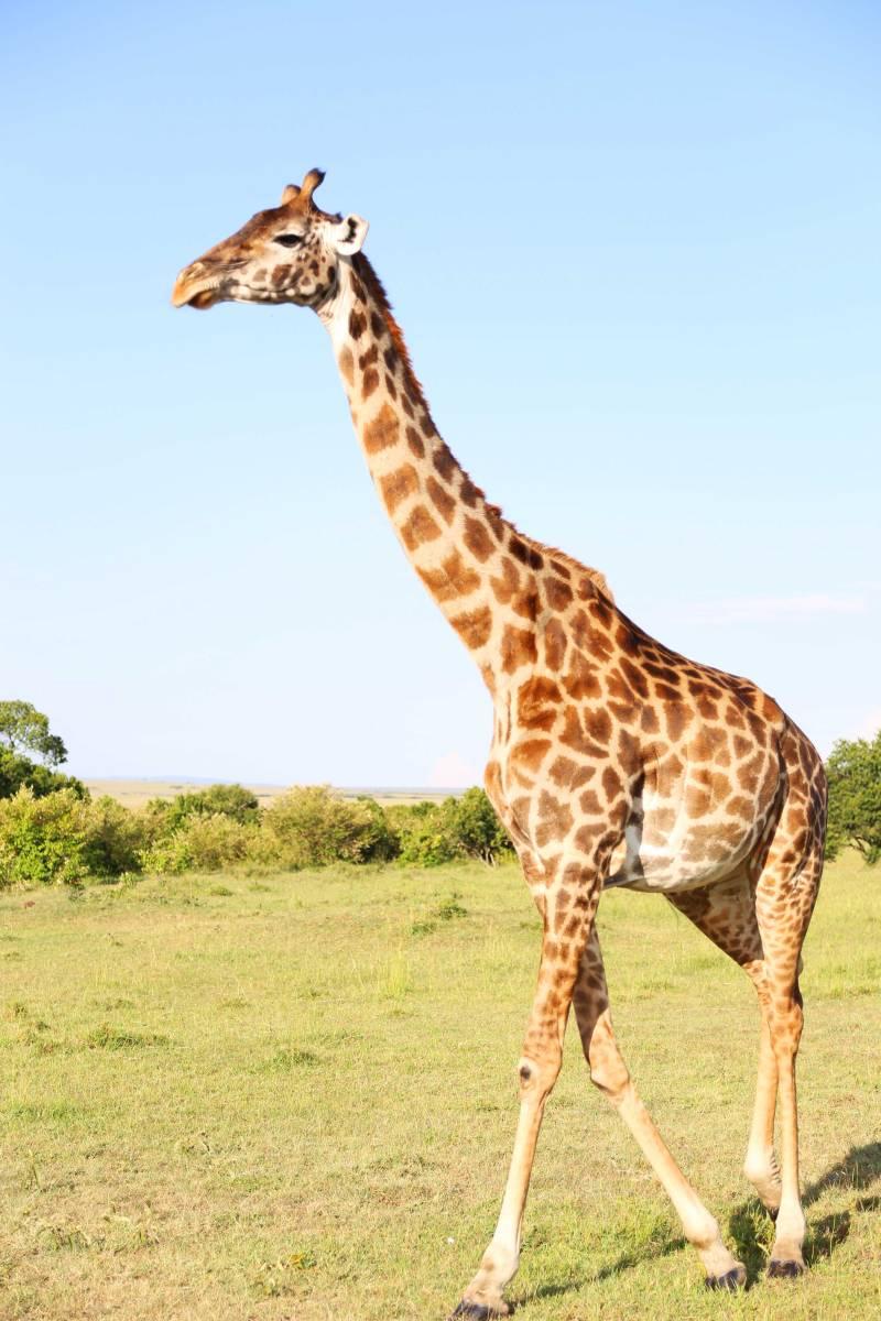 giraffe long neck wild giraffe lion march pride lion cheetah