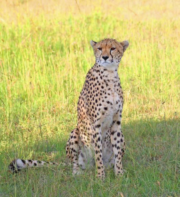 """Great Migration"" ""Great Migration Africa"" ""The Great Migration"" ""BBC Great Migration"" ""BBC filming"" ""BBC Africa"" ""Cheetah"" ""Masai Mara"" ""Big Five"" ""Big 5"" ""safari"" ""Kenya"" ""Africa"" ""Big 5 Africa"" ""safari holiday"" ""Governor's Camp"" ""luxury safari"" ""luxury safari Africa"" ""best African safari"" ""luxury safari camp"" ""luxury safari hotel"" ""animals safari"" ""what are the big 5 africa"" ""travel"" ""photography"" ""travel photography"" ""wildlife photography"" ""Cheetah"" ""leopard"" ""elephant"" ""rhino"" ""endangered"" ""poaching"" ""black rhino"" ""Buffalo"" ""elephant"" ""lion"" ""Marsh Pride Lion"" ""lions in wild"" ""lions on safari"" ""wild lions"" ""safari sunset"" ""Masai Mara sunset"" ""wanderlust"""