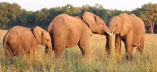 """Elephant"" ""wild elephant"" ""African elephant"" ""masai mara elephant"" ""old elephant"" ""Lioness"" ""Lion"" ""Marsh Pride Lion"" ""Great Migration"" ""Great Migration Africa"" ""The Great Migration"" ""BBC Great Migration"" ""BBC filming"" ""BBC Africa"" ""Cheetah"" ""Masai Mara"" ""Big Five"" ""Big 5"" ""safari"" ""Kenya"" ""Africa"" ""Big 5 Africa"" ""safari holiday"" ""Governor's Camp"" ""luxury safari"" ""luxury safari Africa"" ""best African safari"" ""luxury safari camp"" ""luxury safari hotel"" ""animals safari"" ""what are the big 5 africa"" ""travel"" ""photography"" ""travel photography"" ""wildlife photography"" ""Cheetah"" ""leopard"" ""elephant"" ""rhino"" ""endangered"" ""poaching"" ""black rhino"" ""Buffalo"" ""elephant"" ""lion"" ""Marsh Pride Lion"" ""lions in wild"" ""lions on safari"" ""wild lions"" ""safari sunset"" ""Masai Mara sunset"" ""wanderlust"""