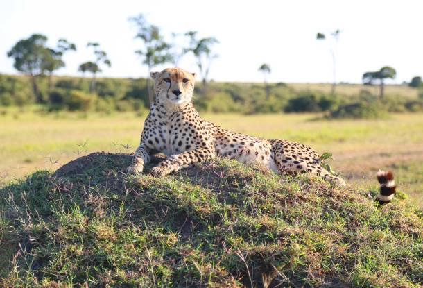 """Cheetah"" ""Cheetah Africa"" ""Cheetah print"" ""Elephant"" ""Lioness"" ""Lion"" ""Marsh Pride Lion"" ""Great Migration"" ""Great Migration Africa"" ""The Great Migration"" ""BBC Great Migration"" ""BBC filming"" ""BBC Africa"" ""Cheetah"" ""Masai Mara"" ""Big Five"" ""Big 5"" ""safari"" ""Kenya"" ""Africa"" ""Big 5 Africa"" ""safari holiday"" ""Governor's Camp"" ""luxury safari"" ""luxury safari Africa"" ""best African safari"" ""luxury safari camp"" ""luxury safari hotel"" ""animals safari"" ""what are the big 5 africa"" ""travel"" ""photography"" ""travel photography"" ""wildlife photography"" ""Cheetah"" ""leopard"" ""elephant"" ""rhino"" ""endangered"" ""poaching"" ""black rhino"" ""Buffalo"" ""elephant"" ""lion"" ""Marsh Pride Lion"" ""lions in wild"" ""lions on safari"" ""wild lions"" ""safari sunset"" ""Masai Mara sunset"""