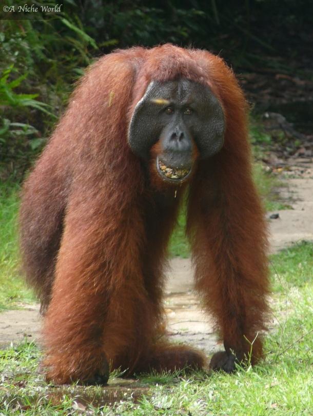 """Orangutan"" ""Borneo"" ""indonesia"" ""kalimantan"" ""jungle"" ""nature"" ""wildlife"" ""Asia"" ""travel"" ""travel photography"" ""photography"" ""portrait"" ""portrait photography"""