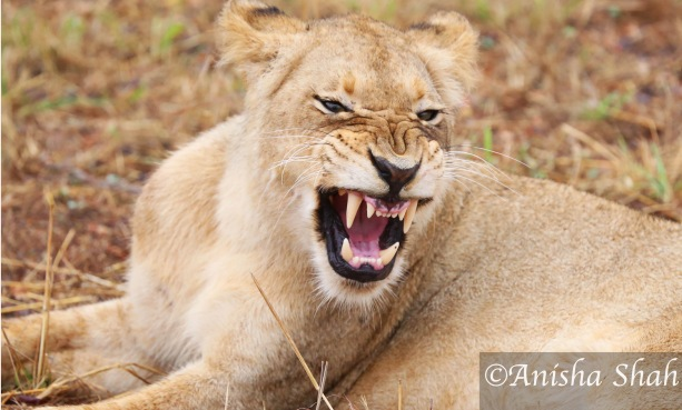 Lion, leopard, Africa, safari, South Africa, Kirkmans Camp, &Beyond,  wildlife, nature, travel