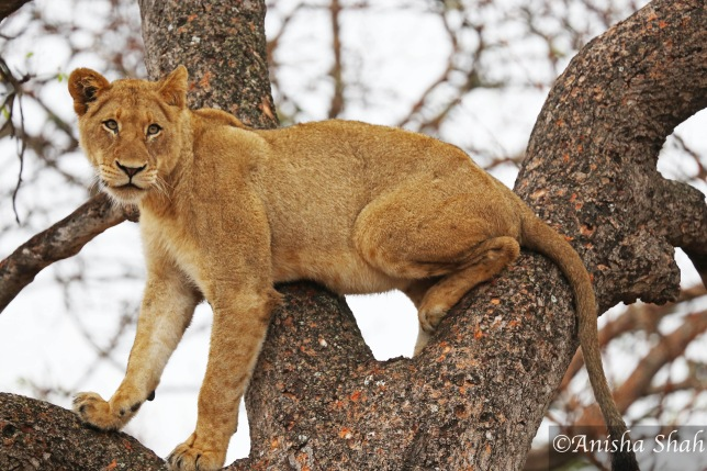 lion, lioness, Africa, safari, South Africa, Big 5, Kirkmans Camp, &Beyond, luxury safari, wildlife, nature, travel