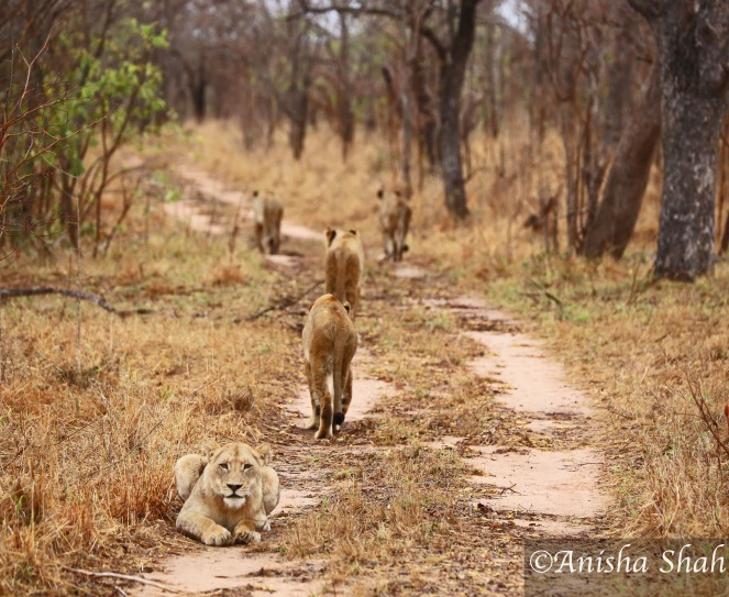 lions, Big5, Africa, safari, South Africa, wildlife, travel