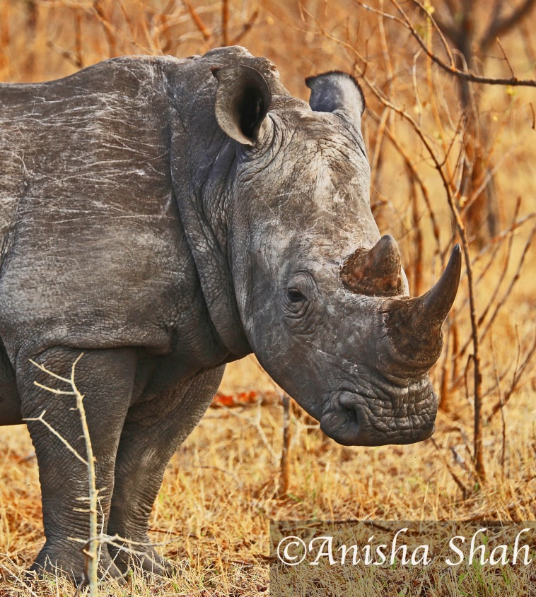 Rhino, leopard, Africa, safari, South Africa, Kirkmans Camp, &Beyond,  wildlife, nature, travel