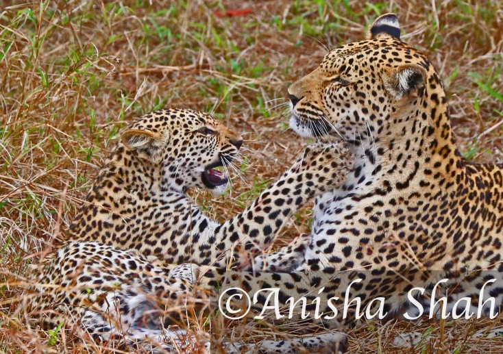 Leopard, cub, leopard, Africa, safari, South Africa, Kirkmans Camp, &Beyond,  wildlife, nature, travel