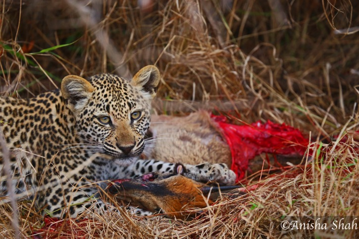 leopard, Africa, safari, South Africa, Kirkmans Camp, &Beyond,  wildlife, nature, travel, leopard cub