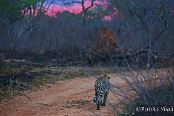 Leopard, leopard, Africa, safari, South Africa, Kirkmans Camp, &Beyond,  wildlife, nature, travel, sunset