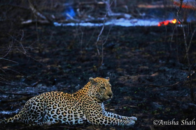 leopard, Africa, safari, South Africa, Kirkmans Camp, &Beyond,  wildlife, nature, travel