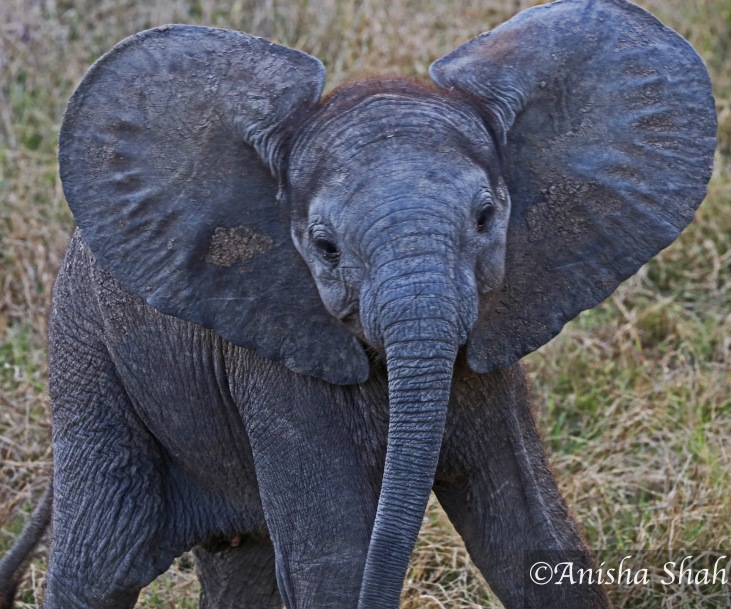 Elephant, baby, leopard, Africa, safari, South Africa, Kirkmans Camp, &Beyond,  wildlife, nature, travel