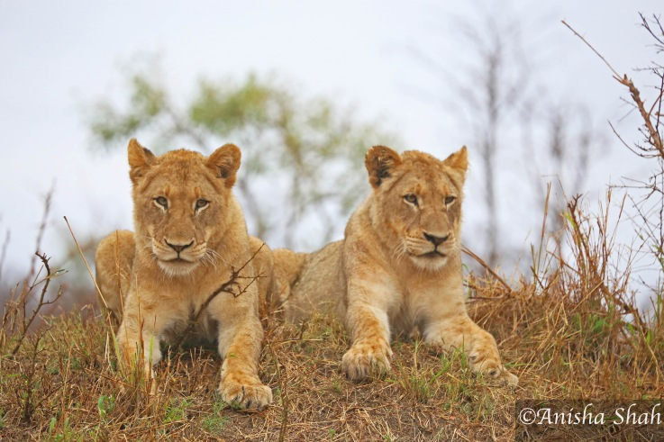 lion, cubs, leopard, Africa, safari, South Africa, Kirkmans Camp, &Beyond,  wildlife, nature, travel