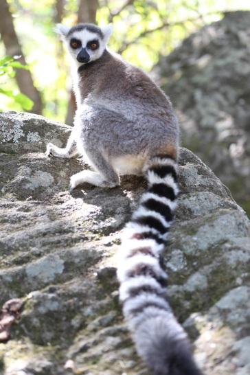 """ring-tailed lemur"" ""lemur"" ""lemur photo"" ""lemurs madagascar"" ""ring-tailed lemur Madagascar"" ""Madagascar"" ""Madagascar travel"" ""madagascar luxury"" ""emerging destinations"" ""Anisha Shah travel journalist"" ""Anisha Shah bbc"" ""Anisha Shah emerging destinations`' ""anisha shah travel journalist"" ""Anisha shah Madagascar"" ""private island"" ""luxury travel Africa"" ""luxury Indian Ocean"" ""Constance hotels"" ""luxury hotels indian ocean"" ""intrepid travel"" ""Africa destinations"" ""emerging destinations 2016"" 'Madagascar wildlife"" ""Madagascar lemurs"" ""Madagascar sights"" ""Madagascar itinerary"" ""Madagascar hotels"" ""Madagascar photography"" ""photography"" ""wildlife photography"" ""travel photography"" ""Madagascar photography"" ""beach"" ""luxury beach"" ""luxury Africa"" :adventure travel"" ""solo female travel"" ""adventure travel Africa"" ""adventure travel solo female"" ""Malagasy"" ""portrait photography"" ""African people"" ""ethnic tribes"" ""ethnic tribe Madagascar"" ""Malagasy Madagascar"" ""rural Madagascar"" ""Madagascar countryside""  ""rickshaw"" ""rickshaw Africa"" ""Antsirabe"" ""Fianarantsoa"" ""African market"""