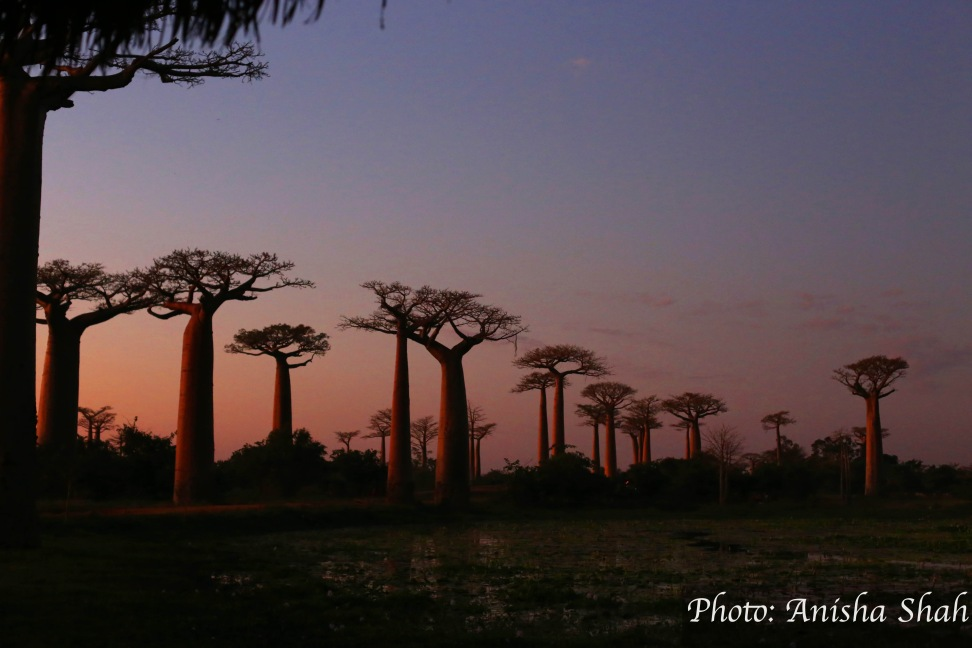 """Baobab Alley"" ""L'Allee des Baobabs"" ""L'avenue des baobabs"" ""baobabs madagascar"" ""baobab trees"" ""ancient trees"" ""old trees"" ""trees madagascar"" ""madagascar"" ""baobab madagascar"" ""unesco world heritage site madagascar"" ""travel"" ""sights"" ""Africa"" ""Indian Ocean"" ""island"" ""islands africa"" ""islands indian ocean"" ""madagascar things to see"" ""madagascar itinerary"" ""sights madagascar"" ""madagascar travel itinerary"" ""oldest trees in the world"" ""how old are baobabs"" ""baobab trees"" ""where are baobabs"" ""top sights Madagascar"" ""unmissable Madagascar"" ""madagascar not to miss"" ""madagascar must-see"" ""spiritual"" ""travel"" ""travel africa"" ""travel indian ocean"" ""travel islands"" ""emerging destinations"" ""top emerging destinations"" ""top emerging destinations africa"" ""world's most emerging destinations"" ""trees"" ""photography"" ""sunset"" ""sunset photography"" ""sunrise photography"" ""Morondava"" ""Morondava madagascar"" ""baobab alley aerial view"" ""aerial view L'allee des baobabs"""