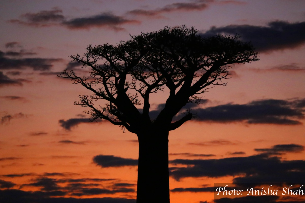 """Baobab Alley"" ""L'Allee des Baobabs"" ""L'avenue des baobabs"" ""baobabs madagascar"" ""baobab trees"" ""ancient trees"" ""old trees"" ""trees madagascar"" ""madagascar"" ""baobab madagascar"" ""unesco world heritage site madagascar"" ""travel"" ""sights"" ""Africa"" ""Indian Ocean"" ""island"" ""islands africa"" ""islands indian ocean"" ""madagascar things to see"" ""madagascar itinerary"" ""sights madagascar"" ""madagascar travel itinerary"" ""oldest trees in the world"" ""how old are baobabs"" ""baobab trees"" ""where are baobabs"" ""top sights Madagascar"" ""unmissable Madagascar"" ""madagascar not to miss"" ""madagascar must-see"" ""spiritual"" ""travel"" ""travel africa"" ""travel indian ocean"" ""travel islands"" ""emerging destinations"" ""top emerging destinations"" ""top emerging destinations africa"" ""world's most emerging destinations"" ""trees"" ""photography"" ""sunset"" ""sunset photography"" ""sunrise photography"" ""Morondava"" ""Morondava madagascar"" ""baobab alley aerial view"" ""aerial view L'allee des baobabs"""
