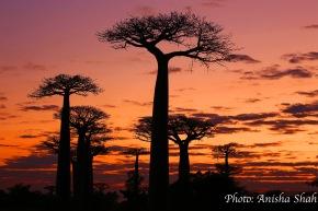 L'ALLEE DES BAOBABS,MADAGASCAR