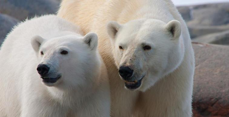 """Polar bears"" ""arctic"" ""norway"" ""spitsbergen"" ""expedition"" ""ship"" ""M/S Expedition"" ""wildlife"" ""ice"" ""glaciers"" ""tundra"" ""Svalbard"" ""archipelago"" ""Longyearbyen"" ""G Adventures"" ""adventure"" ""travel"" ""solo travel"" ""girls travel"" ""adventure holiday"" ""cruise"" ""zodiac landings"" ""walrus"" ""seals"" ""sea lions"" ""bearded seal"" ""arctic wildlife"" ""snow"" ""lakes"" ""Arctic sea"" ""hiking"" ""walking"" ""ice caps"""